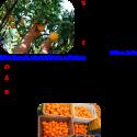 Προσφορές πορτοκαλιών από «ΔΕΣΜΟ»